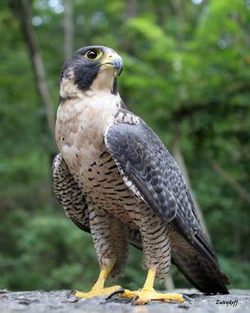 Raptors Birds of Prey - Bing Images
