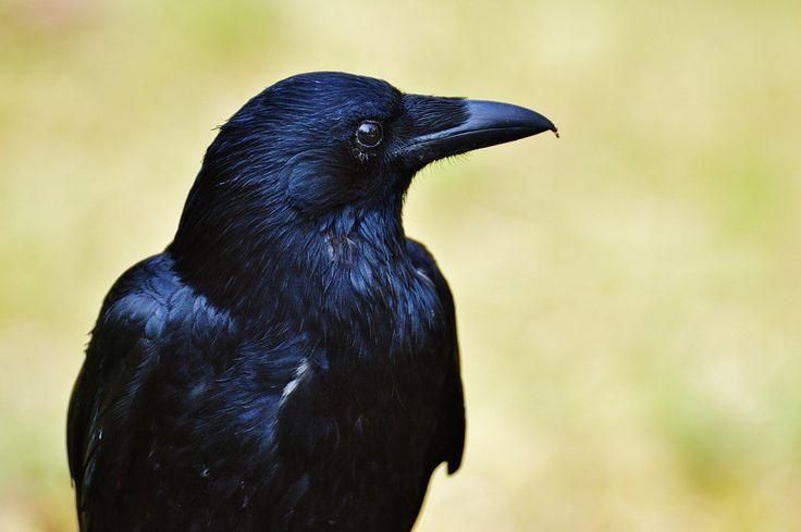 Eccellenze animali: l'intelligenza del corvo (parte I)
