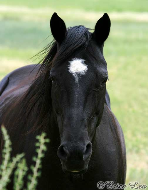 Black Quarter Horse Photo Western Decor Horse by NatureVisionsToo, $20.00