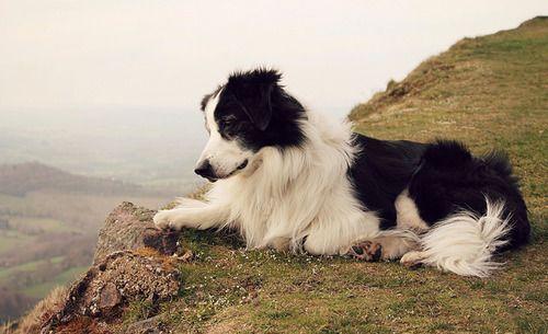Sheepdog on a cliff. English shepherd or border collie, perhaps? Meg Price.  Check more at http://hrenoten.com