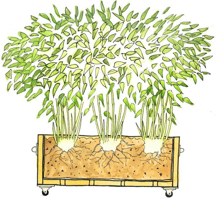 Bambus in Pflanzkästen mit Rollen pflanzen als Sichtschutz auf Balkon oder Terrasse.