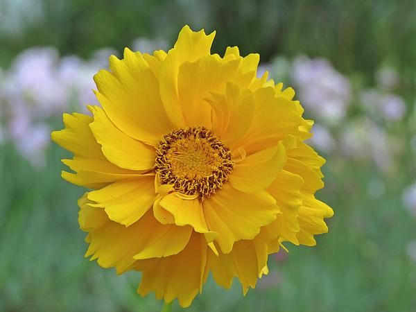 Looking For Alaska Flower: 71 Best Images About Coreopsis / Tickseed (Asteraceae) On