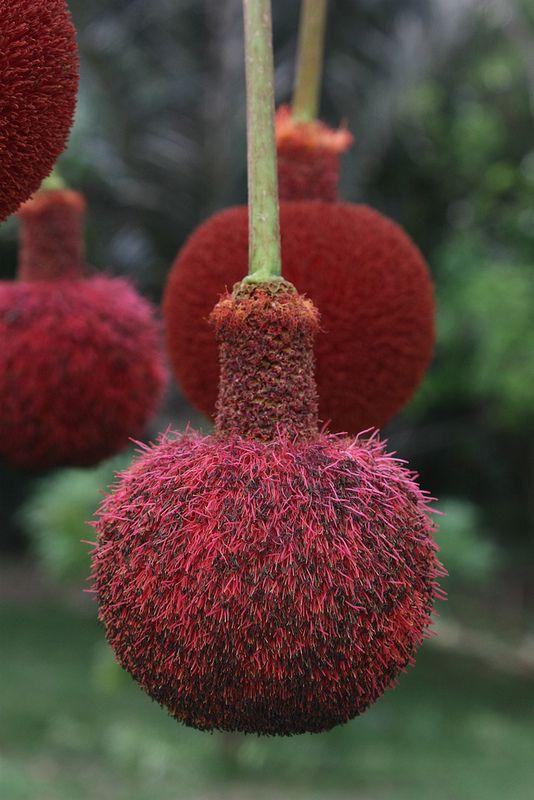 Parkia biglobosa Mimosaceae~tree; Parkia biglobosa, commonly known as the locust…