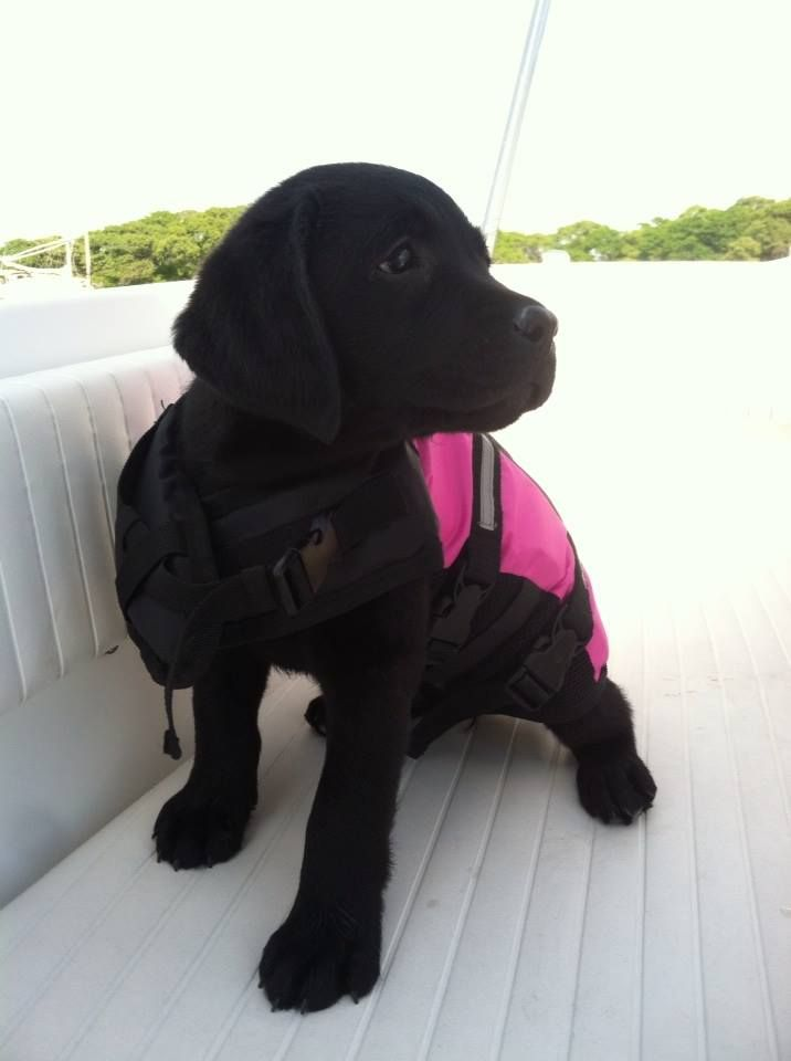 This is so my dog jake he works so good on walks with his back pack it ...