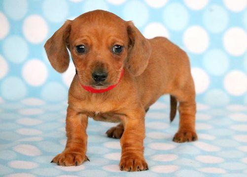 Dachshund Puppy For Sale In Mount Joy Pa Adn 61392 On