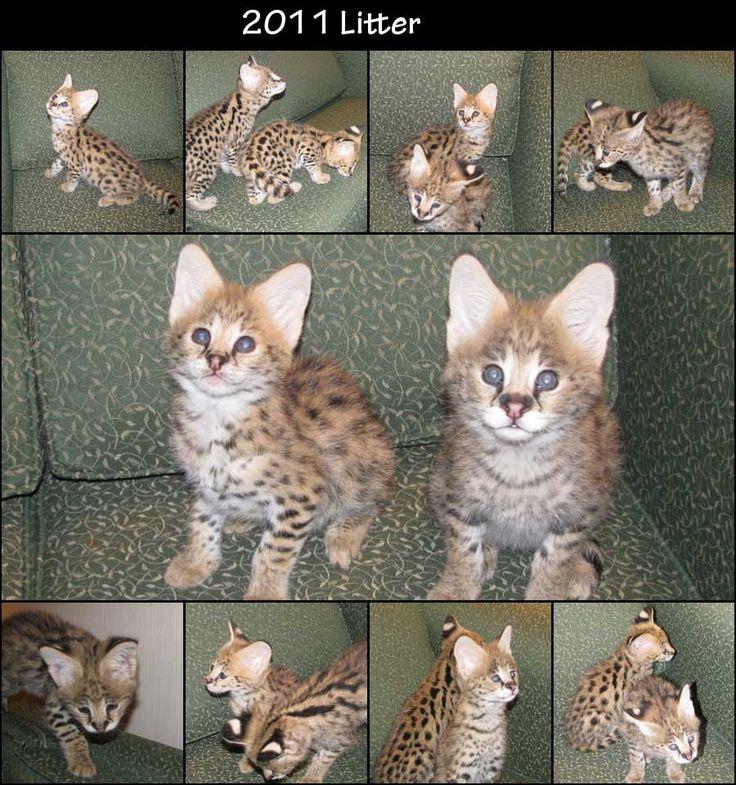 African Serval Cats... Miniature Cheetahs