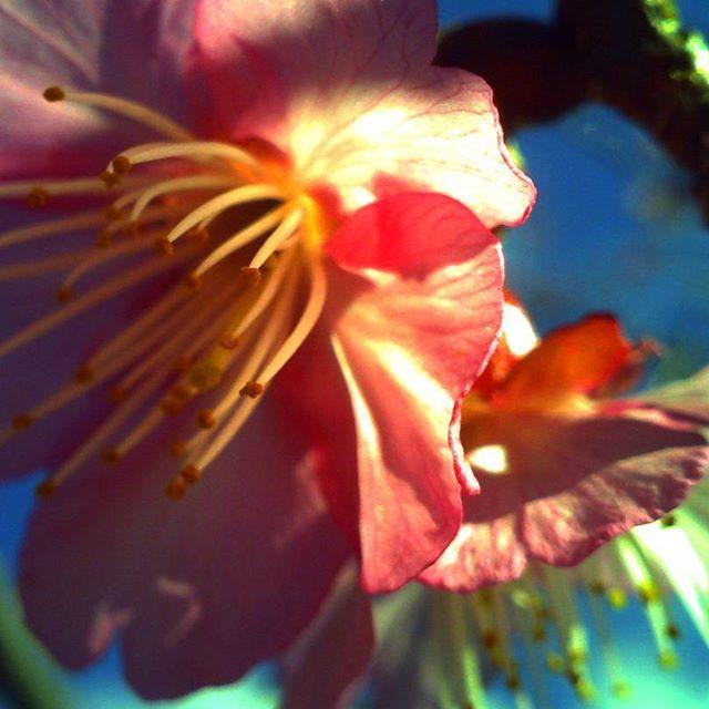 【bloody_cats】さんのInstagramをピンしています。 《先週届いたデジタルハリネズミ3を片手に桜祭りへ。 いつかヒラヒラ舞い散る桜吹雪がみたいなー…! * #デジタルハリネズミ#デジタルハリネズミ3#トイデジ#トイカメラ#カメラ#桜#花#沖縄#カンヒサクラ》