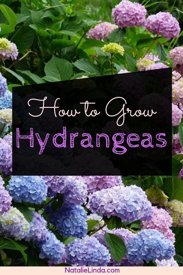 How To Grow Hydrangeas In Your Garden Hydrangea Landscaping