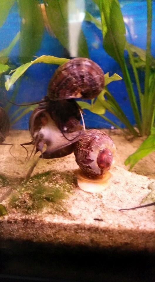 Meer dan 1000 afbeeldingen over Aquarium slakken op Pinterest   Aquarium en Rozen
