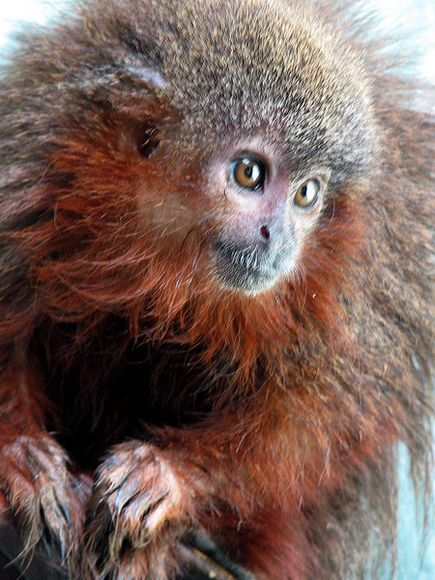Bushy-Bearded Titi, Caqueta Titi.  Caquetá Titi (Callicebus caquetensis) - An expedition to the Colombian Amazon in 2010 revealed a new species of titi monkey that's the size of a house-cat and sports a bushy red beard. Description from pinterest.com. I searched for this on bing.com/images