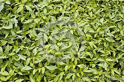 Background with green tomato leaves
