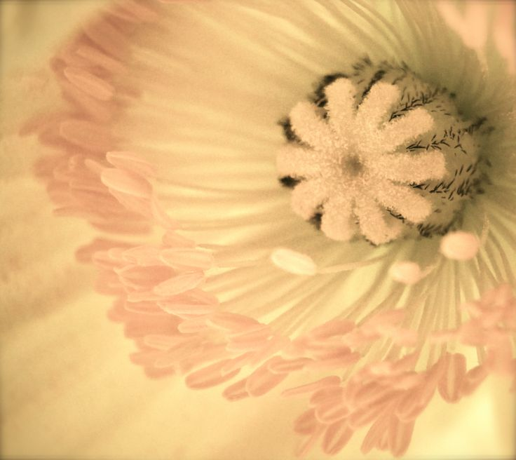 Flowers, Papaver, Valmuer, photo, macro,