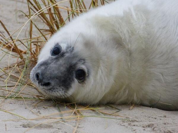 Door de storm waren er veel achtergelaten zeehondenpups op het strand van Vlieland. Probeer niet te dichtbij te komen, dan komt de moeder helemaal niet meer terug.