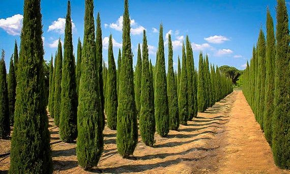 Italian Cypress 36pcs Free Seeds With Love Mediterranean Cypress Cupressus Sempervirens Gmo Free Organic Seeds In 2021 Italian Cypress Trees Italian Cypress Cyprus Trees