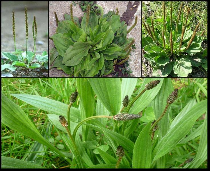"""Le Plantain : cette """"mauvaise herbe"""" est l'une des plantes médicinales les plus utiles de la planète."""