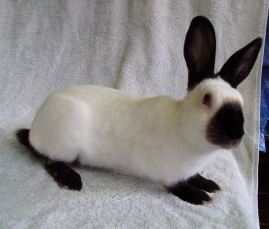 Himalayan rabbit is medium-sized breed of rabbit easily mistaken for the Californian rabbit. The body is white with colored points, recognized colors are black, blue, chocolate and lilac. They are one of the oldest and calmest breeds.