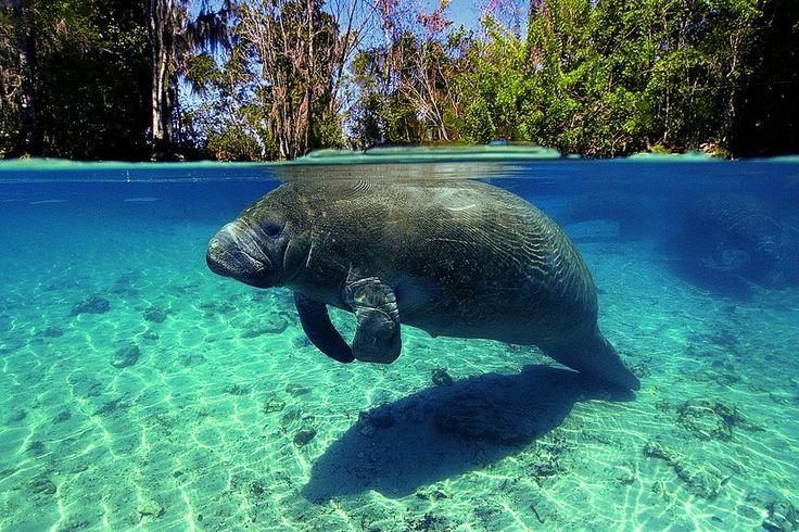 Manatee Swim & Snorkel, Crystal River, Florida