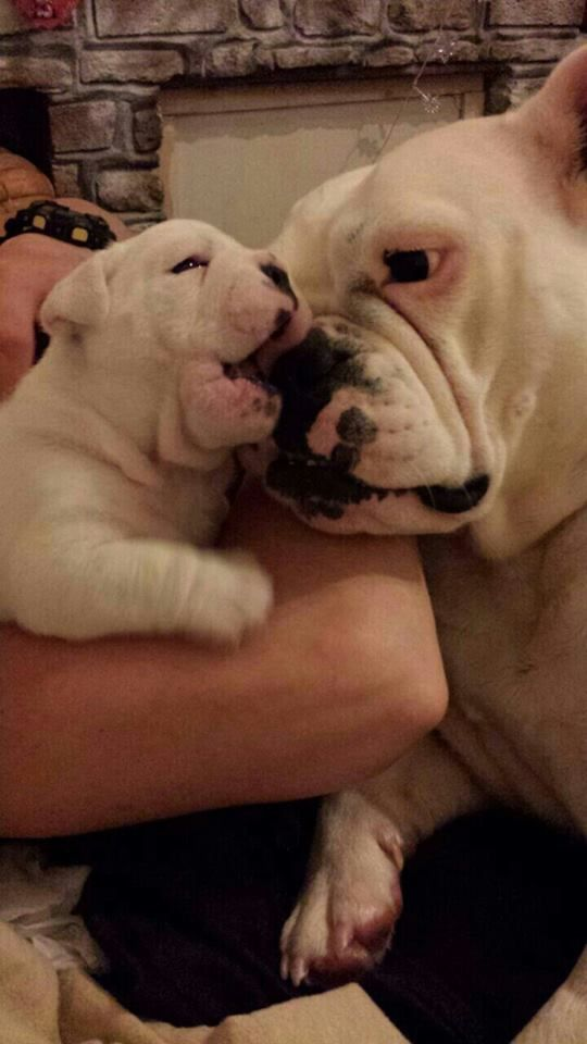 ❤ Bella and baby Mike  ❤ Posted by Ekaterina Borisovaon Larry the English Bulldog