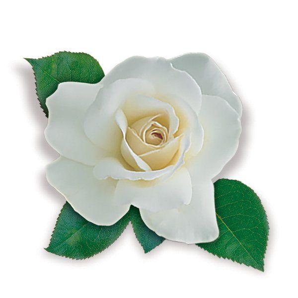 Róża rabatowa biała - Rosa polyantha 'Kristallperle'