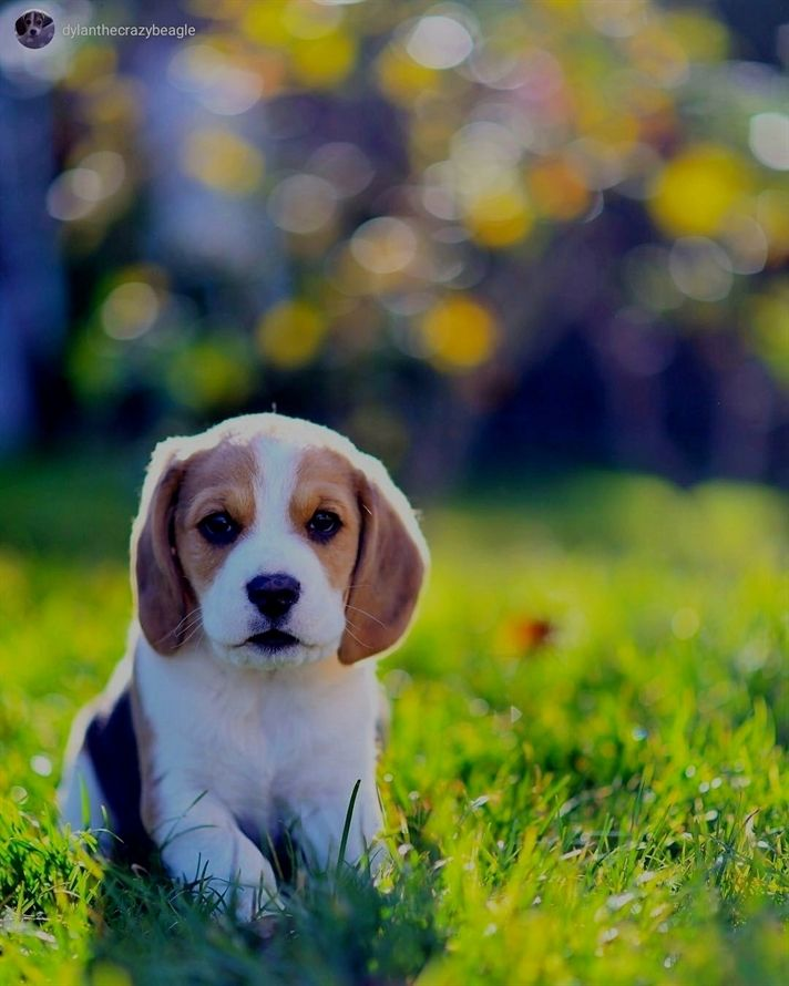 Beagle Puppy Adorable Animal Puppy Pets Dogs Breeds Beagle