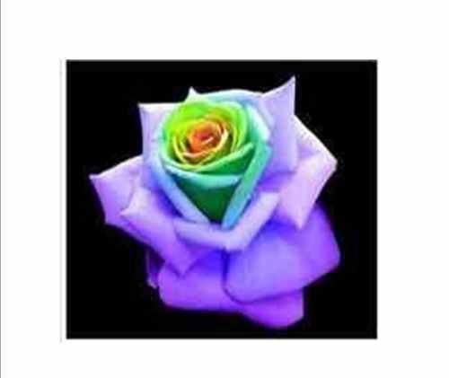 25 Purple Heart Rare Rose Seeds