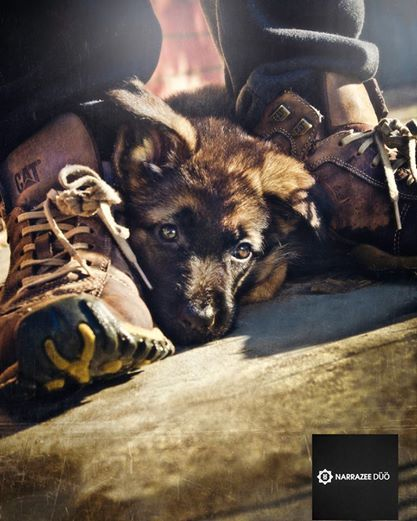 GSD puppy. NarrazeeDuo.com