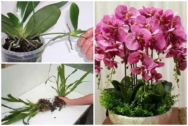 Az átültetéshez kapcsolódik az orchidea szaporítása. Vágj bele! Elmondjuk, hogyan kell!