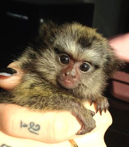 Pygmy Marmoset Monkeys for Sale | Love Marmosets Monkeys For Sale