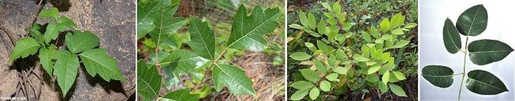 Poison ivy, poison oak, poison sumac, and poisonwood Credit: (Source: Cook 2012; Larry Korhnak, UF/IFAS)