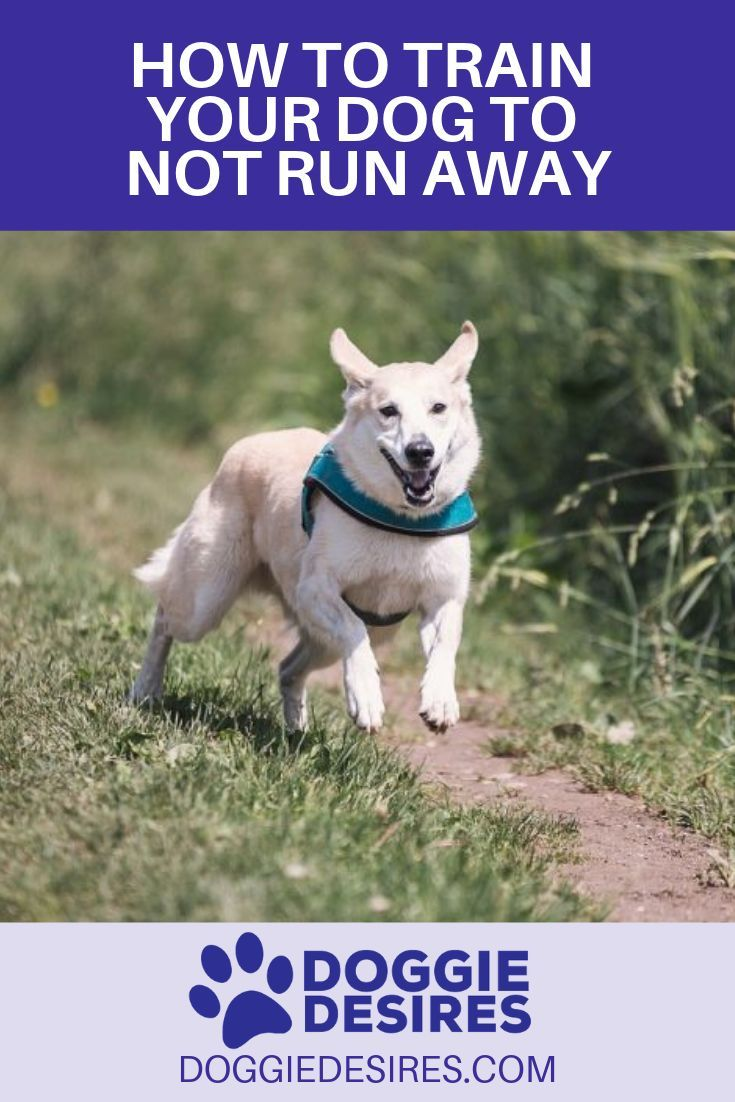 How To Train Your Dog To Not Run Away Training Your Dog Dog