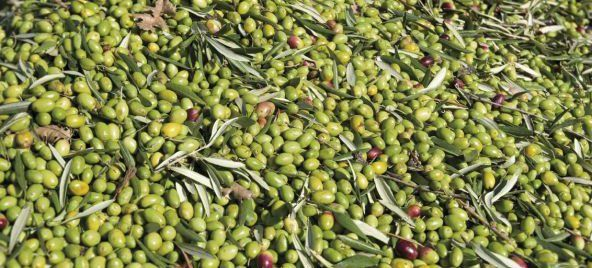 Olive oil is considered being Apulia region's gold (Puglia). Apulia produced almost 2 million tons of oil annually. info@nomadicommerce.online