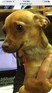 Pictures of Boyd a Chihuahua for adoption in Rincon, GA who needs a loving home.