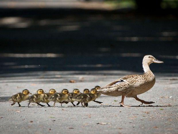 Família de patos foi clicada atravessando calçada em fila 'comportada' em Offenbach, na Alemanha (Foto: Frank Rumpenhorst, DPA/AP)