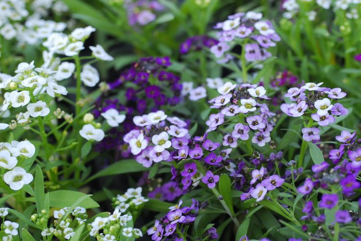 """Could the meaning of a name be any more incredible than that of sweet alyssum, meaning """"worth beyond beauty"""" or """"sweetness of soul""""?"""