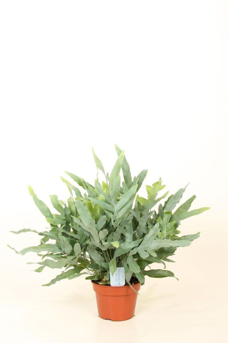 10 beste afbeeldingen van vintage kamerplanten planten tuinieren en asperges. Black Bedroom Furniture Sets. Home Design Ideas