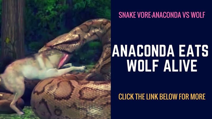 Anaconda Swallows a wolf Alive. Man Eating anaconda's now swallowing a wolf. http://www.mercilessnature.com swallow,digest,eat,feast,feed,foot,alive,life,gir...