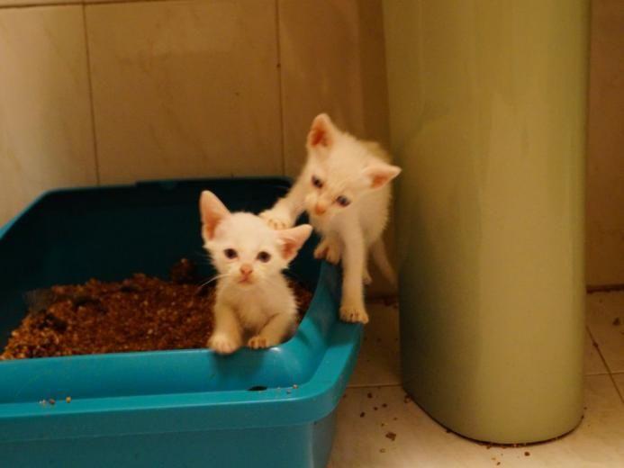 Cachorritos Siameses Blancos - Gatos en Madrid.