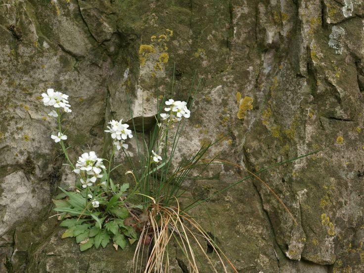 A sziklai kövifoszlár (Arabidopsis lyrata subsp. petraea) egy dolomitsziklán, a Keszthelyi-hegységben (fotó: Bauer Norbert)