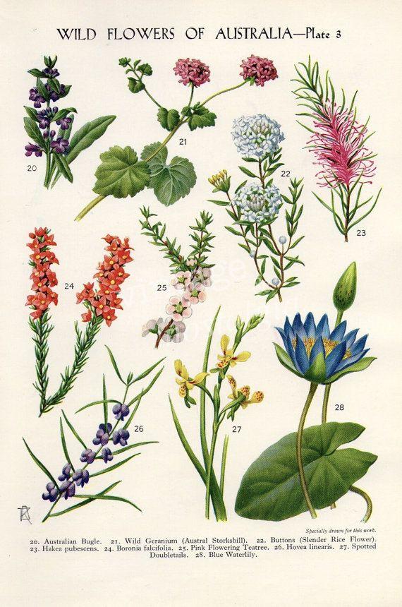 vintage Botanical flower print Australian Wild Flowers Banksia Bottlebrush…