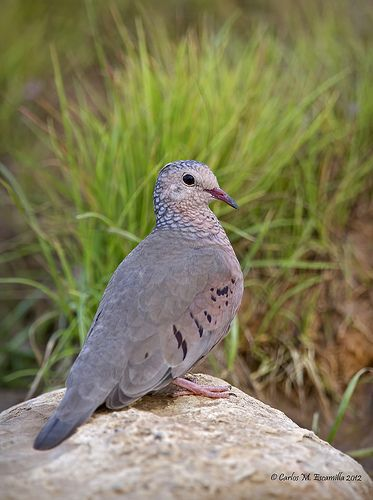 Common Ground Dove (Columbina passerina) United States, Central and northern South America
