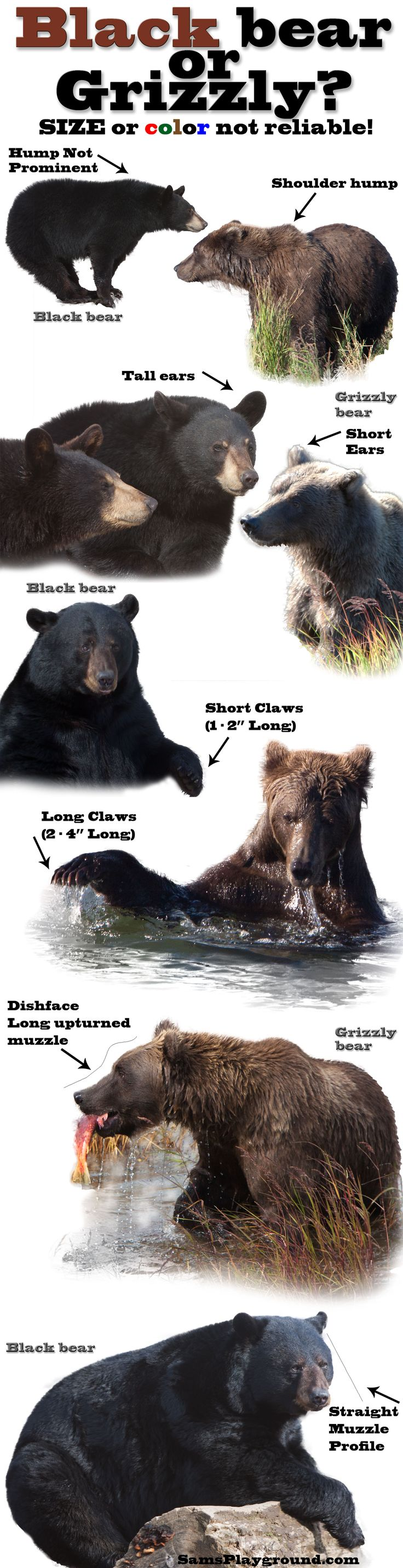 Is it a black bear or a grizzly/brown bear. Don't be confused by color or size. Know how to tell one bear species from another!