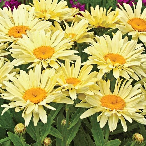 Banana Cream Shasta Daisy  One of the best daisies available—blooms its heart out! Vigorous grower produces full, double petal blooms all summer long, adding bright color to borders, containers and cutting gardens.