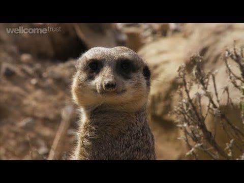 Where could studying biology lead? Follow Ahmed, a student from Winchmore School in London, as he meets three different people, all who have down a biology A level but were using it in very different capacities. Watch as he meets fidgeting meerkats and has a brush with the law.