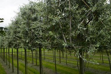 Pyrus salicifolia 'Pendula'  Pyrus salicifolia 'Pendula' hat nicht nur seine Blattform mit der Weide gemeinsam, auch die hängenden Zweige erinnern an der Trauerweide.