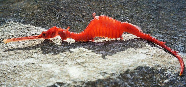 observation très rare d'un dragon de mer rubis [video] - https://www.2tout2rien.fr/observation-tres-rare-dun-dragon-de-mer-rubis/