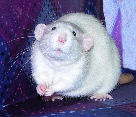 Best 25+ Dumbo rat ideas on Pinterest | Rat, Rats and Cute ... | 525 x 453 jpeg 44kB