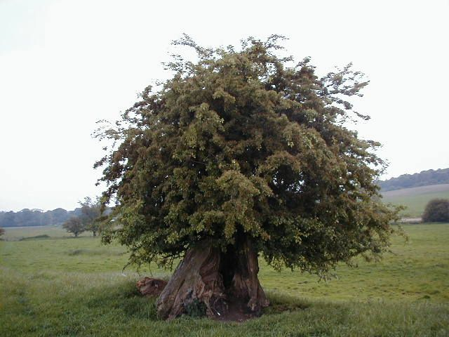 127 best Hawthorn Tree Magick images on Pinterest Beautiful