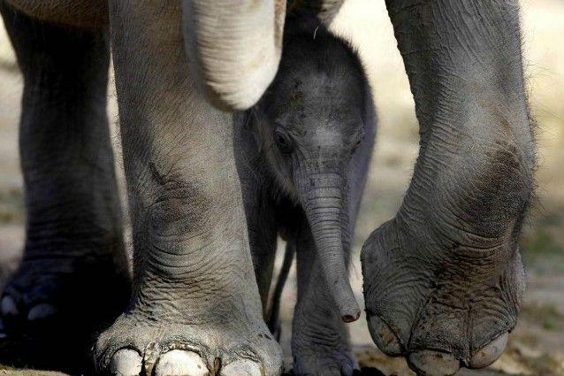 Elefanti, animali affettuosi. Arriva la dimostrazione scientifica