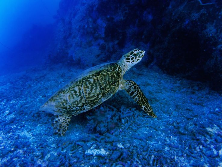 Discover turtles at Navini Island Resort, Fiji