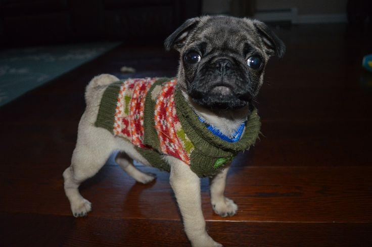 Gus, the pug, loves his Carlisle Hickory floors